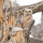 Great Horned Owl owlets thumbnail