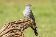 Cuckoo 500_9771.jpg (Mobile Lynn) Tags: birds nature cuckoo bird fauna wildlife thursley england unitedkingdom gb coth specanimal coth5 ngc npc