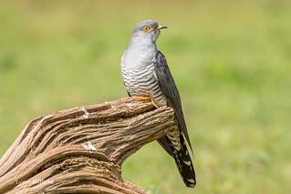 Cuckoo 500_9771.jpg