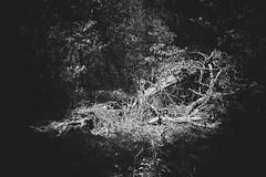 Death's Highlight (miiav) Tags: forest california redwood blackandwhite black white digital canon canon5dmkii canon5d summer dry drought