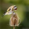 Goldfinch (Mike Woolley) Tags: bird nikon snow spring wildlife goldfinch