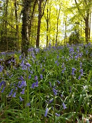 Bluebells (katy1279) Tags: bluebellswoodlandnaturebeautifultreesgreens