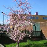 Spring Blossom Reed Road  #2 thumbnail