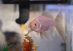 FOOD. (Kurayba) Tags: animal goldfish gold fish aquarium water hungry food feed me meme pentax k1 fa 50 f17 comet open mouth agape begging cat tail smcpfa50mmf17