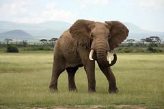 ANIMALS OFF THE NET (Tripple Digits) Tags: safarianimals safari tusk large gray wildlife nature kenya africa animaltrunk animalhead africanelephant elephant hoofedmammal mammal animal amboselinationalpark conceptsandideas travellocations time