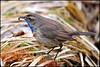 N° 943 / Gorge-bleue à miroir ( Luscinia svecica ) Focus Distance : 4.47 m (Norbert Lefevre) Tags: ver plumage gorgebleue passereau nikon d300s 300mmf4