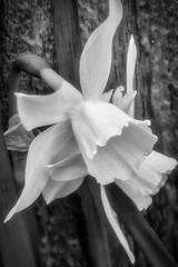 Cyclamine Daffodil