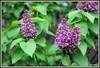 Premier lilas (Les photos de LN) Tags: lilas printemps nature couleur mauve bouquet arbuste grappe