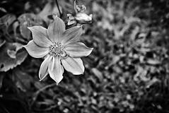 BW Dahlia (eomer1) Tags: papuanewguinea bw blackandwhite mybackyard flower