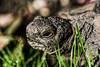 Tank (PChamaeleoMH) Tags: bleachbypass colorefexpro4 criffelavenue garden home macro nik pets procontrast tank tortoise