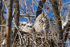 Great Horned Owl owlets check out the photographer