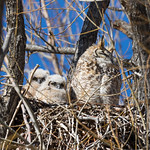 Great Horned Owl owlets check out the photographer thumbnail