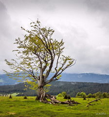 A broken broad-leaved tree on the hill in Sumava (adp_cz) Tags: e0002 sumava alone branch branches broken calm clear cloud clouds cloudy country countryside day endurance environment forest grass gray green grey horizon idyllic landscape leaf leaves lone lonely meadow national natural outdoor outside park persistence plant portrait resistence scene scenery scenic single sky solitary solitude succeed survive tree vertical weather wood