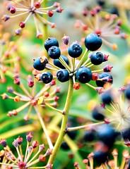 Cosmic Nature (barbara_donders) Tags: nature natuur spring lente berries besjes art kunst macro bokeh mooi prachtig beautifull magical