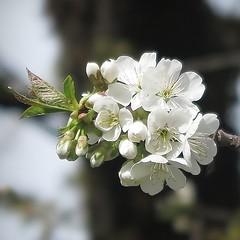 For the future (nathaliedunaigre) Tags: blossoms cherryblossoms fleursdecerisiers blanc white spring printemps carré square