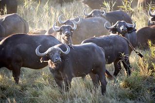 Water Buffalo Watching