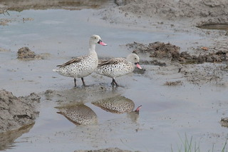 Kaapse taling - Cape Teal - Anas capensis