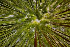 Flowing Bamboos (Black Orchid Studio Lab) Tags: beauty garden zen nikkor grandangle nikond810 fisheye exotique green vert arbres perpective trees yellow herbes plante bambous nature bamboo