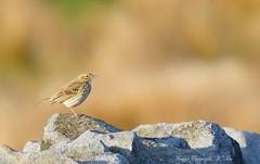 Anthus pratensis. (nondesigner59) Tags: anthuspratensis meadowpipit bird nature wildlife copyrightmmee eos7dmkii nondesigner nd59