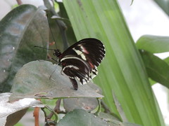 P4190153 (Steve Guess) Tags: horniman museum butterfly forest hill london england gb uk