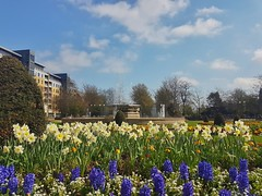 Beautiful day in Hull!😁🌻🌞🌻😁 (LeanneHall3 :-)) Tags: queensgardens hullcitycentre waterfountain fountain daffodils yellow purple flowers flowersarefabulous flowersarebeautiful flowerflowerflower trees branches blue sky white clouds cloudsstormssunsetssunrises samsung galaxy