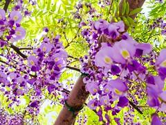 (takashi ogino) Tags: flower nature plant purple pentax q7 digital color justpentax 01standardprime wisteria