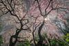 East wind 春風 (kaising_fung) Tags: cherry spring sun sunburst sunstar