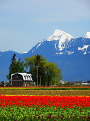 Springtime in the Valley (+5) (peggyhr) Tags: peggyhr tulips valley mountains snowcapped house trees red green yellow purple white blue spring grey dsc00076c fields fraservalley bc canada thegalaxy veddercanalinchilliwackbritishcolumbiacanada thegalaxystars super~sixbronze☆stage1☆ thegalaxylevel2 super~six☆stage2☆silver super~six☆stage3☆gold