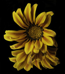 Reflecting On A Yellow And Gold Flower (Bill Gracey 18 Million Views) Tags: fleur flower flor yellow gold nature naturalbeauty homestudio blackbackground mirror yongnuorf603n lastoliteezbox softbox yongnuo macrolens sidelighting tabletopphotography