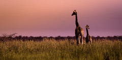 Together (Beppe Rijs) Tags: wildtiere wildlife natur namibia afrika africa desert wüste landscape landschaft color farbe gras grass nationalpark nature np animal couple giraffe silhouette tier himmel steppe sonnenuntergang etosha
