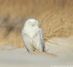 Posing owl (v4vodka) Tags: bird birding birdwatching animal nature wildife owl snowyowl sowa sowka predator raptor buboscandiacus sowasniezna puchaczsniezny nycteascandiaca schneeeule eule 雪鸮
