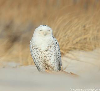 Posing owl