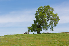 815A2714 A lonely oak tree (hobbitcamera) Tags: northtablemountainecologicalreserve tabletopmountain northtablemountainecologicalreservetabletopmountain oroville orovillecalifornia wildflowers flowers hiking colorfulflowers buttecounty tabletopmtn