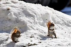 Red Squirrels. (Gillian Floyd Photography) Tags: red squirrels algonquin park snow winter