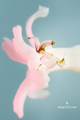Orchid Mantis by Tonya Wilhelm (Adaptalux) Tags: fly photo macrophotography macro photography photographer nature uk summer wildlife insect bite vibrant colours extreme closeup close lens camera new product kickstarter competition adaptalux animal depth field insects mantis prayingmantis