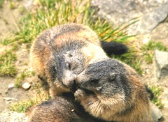 The kiss...😘 (carlesbaeza) Tags: kiss love nature ngc wildlife animals mountain marmot marmota