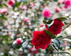 Camellia (littlestschnauzer) Tags: red bokeh flowering camellia flower light gardens blooms april spring springtime 2018 uk garden japonica petals plant nature