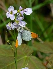 orange-tip butterfly 157a_158 (Baffledmostly) Tags: croomepark insects nationaltrust cuckooflower gender male orangetip