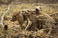 Wild Boar babies (Thomas Winstone) Tags: england unitedkingdom gb humbugs baby boar wildboar canonuk canon 300mm28mk2 mammal mammals susscrofa uk countryside outdoor forest forestry wild wildlife nature canon1dxmark2 3lt 3leggedthing thomaswinstonephotography bbc springwatch bbcspringwatch nationalgeographic frischlinge