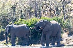 Elephants at Waterhole (mayekarulhas) Tags: krugerpark mpumalanga southafrica za elephant water wildlife wild canon animal africa safari mammal