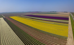 aerial tulipscape (Wim van de Meerendonk, loving nature) Tags: drone tulip tulips field blue bright color colors colours colour flower flowerbed flowers landscape netherlands nederland noordoostpolder outdoors outdoor panorama aerial yellow red sony sky sun spring thenetherlands wimvandem golddragon