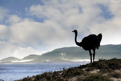 This land is my land (memories-in-motion) Tags: straus ostrich bird land sea south africa animal light clouds nature wildlife canon eos 5dmarkiv 70300mm landscape