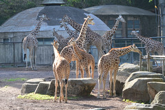 Giraffe / キリン (kiyoto.hamano) Tags: d500 zoo tamazoologicalpark 多摩動物公園 キリン giraffe