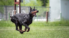 Run to catch (zola.kovacsh) Tags: outdoor animal pet dog ipo schutzhund dobermann doberman pinscher