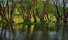 Flooding (kalbasz) Tags: kisoroszi szigetcsúcs szentendreisziget island hungary flooding tree wood water river danube spring clamness nature outdoor fuji xt2 xf1024 hdr easyhdr bracketting