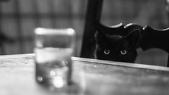 Chasse. (Canad Adry) Tags: minolta md rokkor 50mm f17 cat chat noir et blanc black white eyes eye hunter hunt yeux oeil home glass bokeh cache hide sony alpha a6000 vintage old classic prime manual lens mirrorless animal fear ombre shadow