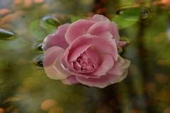 DSC_0997 (griecocathy) Tags: rose feuille eau relief ombre bille argile transparence bulle vert brun grieco cathy