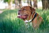 SHA_1841 (andreyshkvarchuk) Tags: pet animal dog doguedebordeaux 7d2 mastiff spring summer forest trees grass