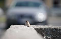 Stoned Sparrow (m3dborg) Tags: sparrow stone city bird birds sunny bokeh car center town sitting animal animals wilderness wildlife outdoor outdoors