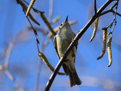 Looking up (marensr) Tags: bird black white nature animal ruby crowned kinglet